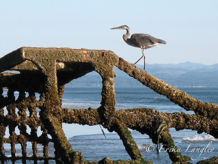 blue heron and rusty excavator